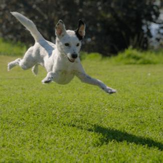 jump dog-325