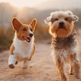Canine Communication 325